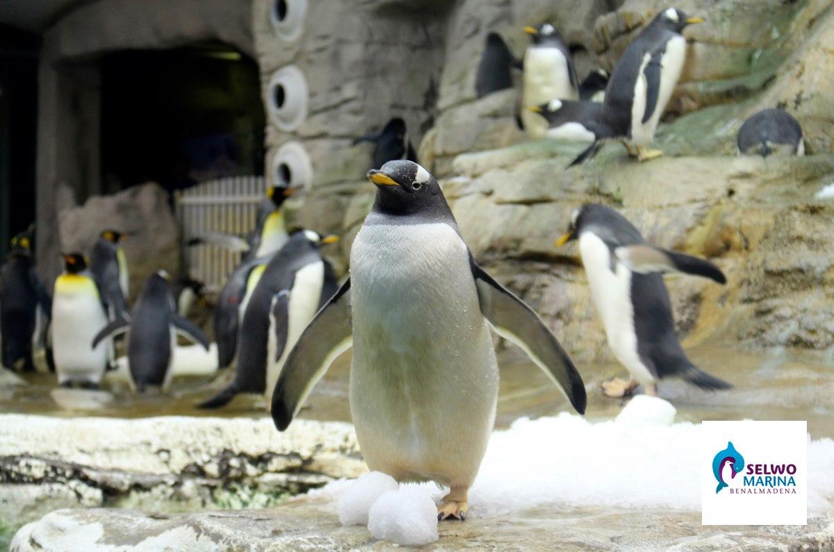 пингвин в пигвинариуме сельво