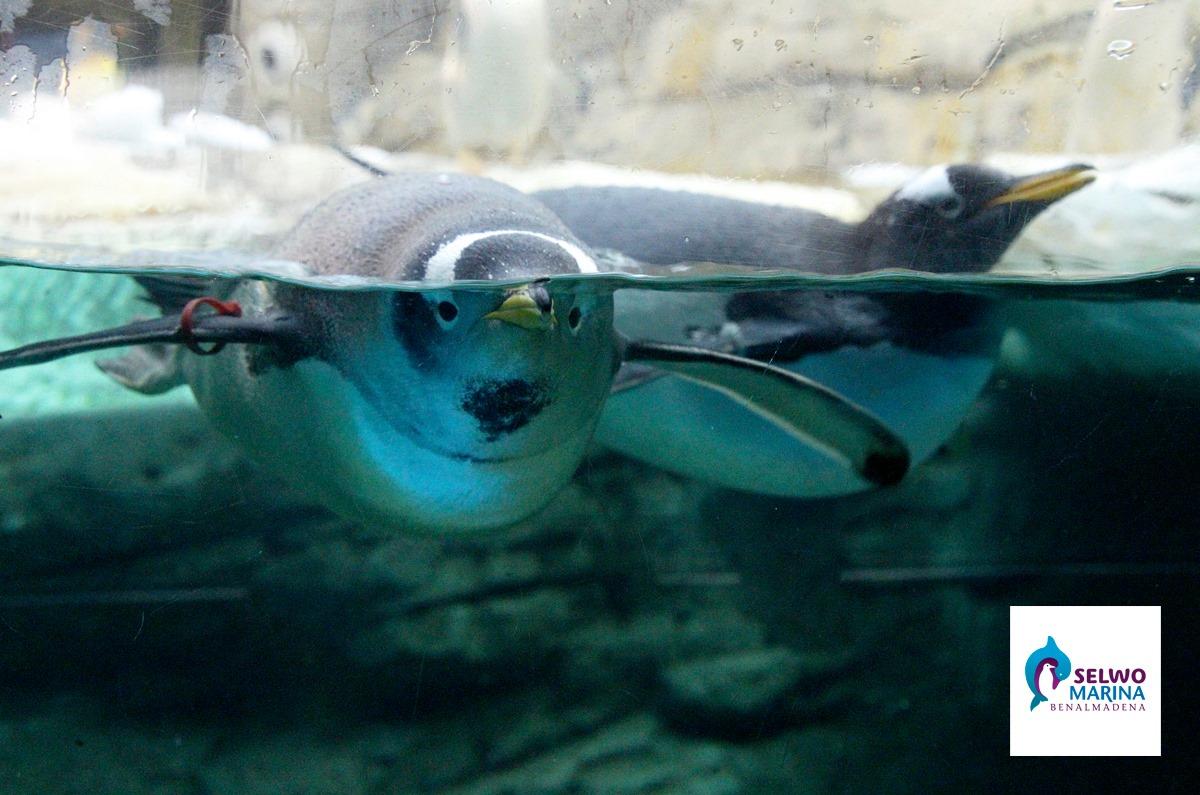 пингвины в сельво в марбелье